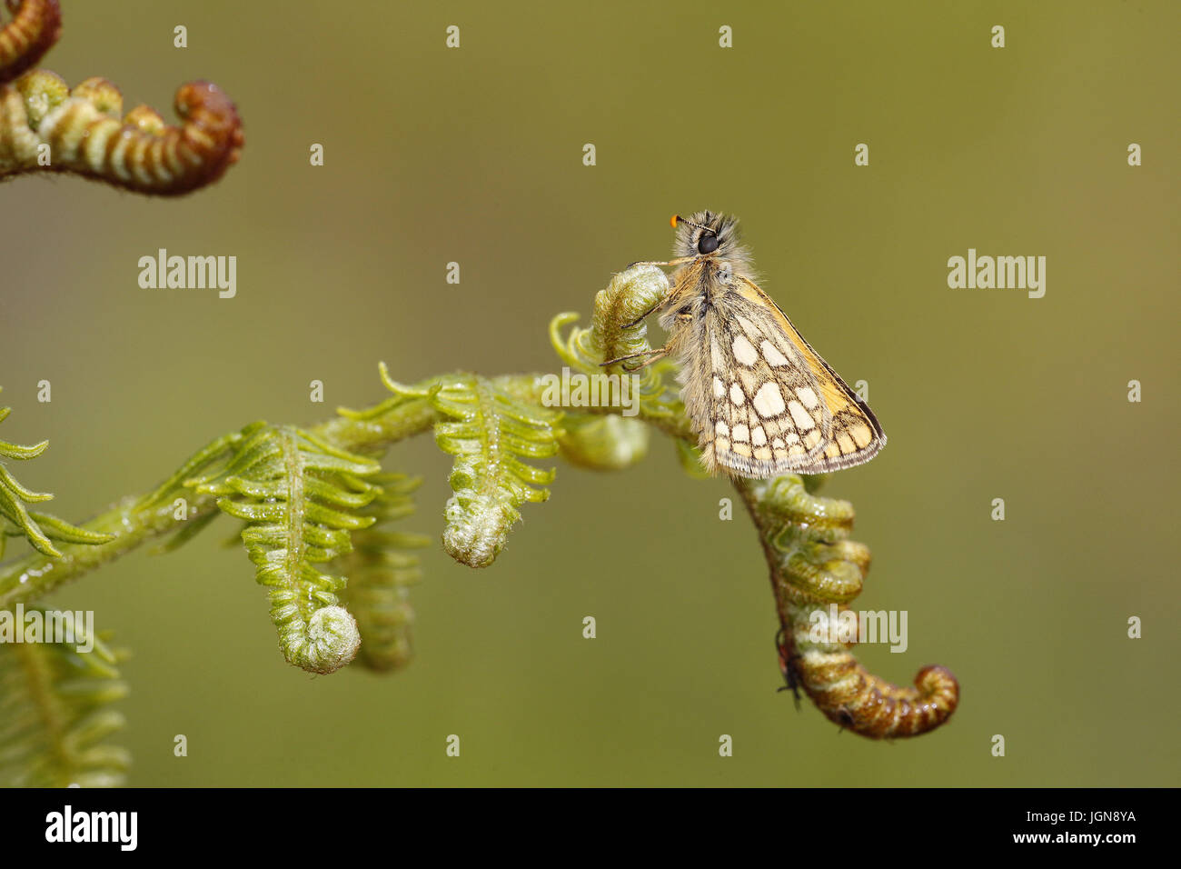 Chequered Skipper, Carterocephalus palameon Stock Photo