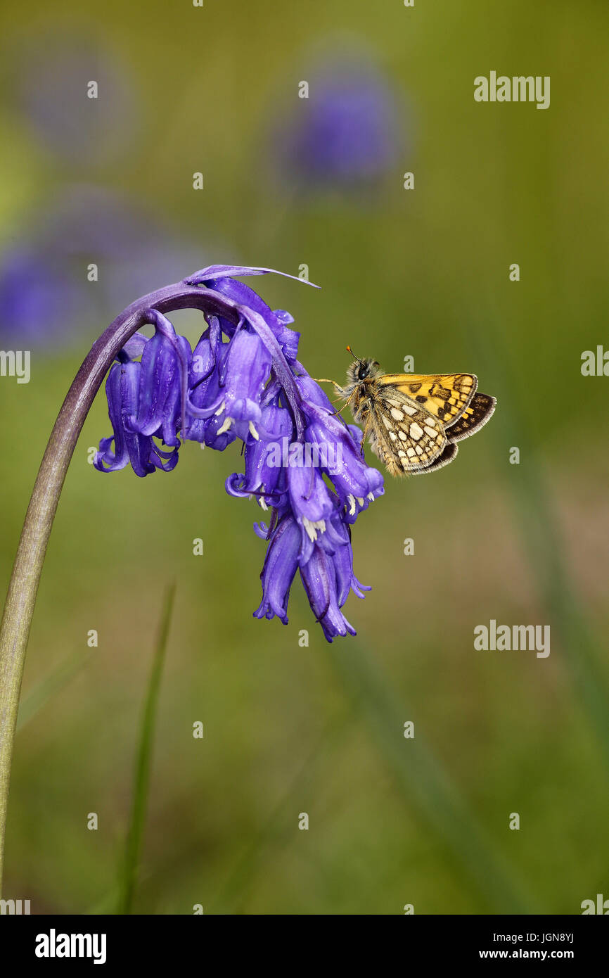 Chequered Skipper, Carterocephalus palameon, perched on Bluebell flower Hyacinthoides non-scripta Stock Photo