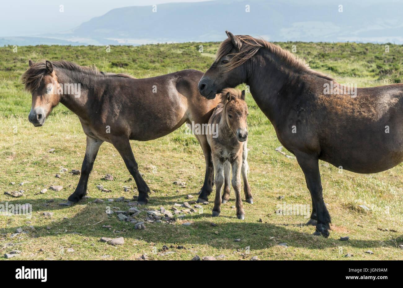 Exmoor Ponies, Dunkery Beacon, Exmoor - Stock Image