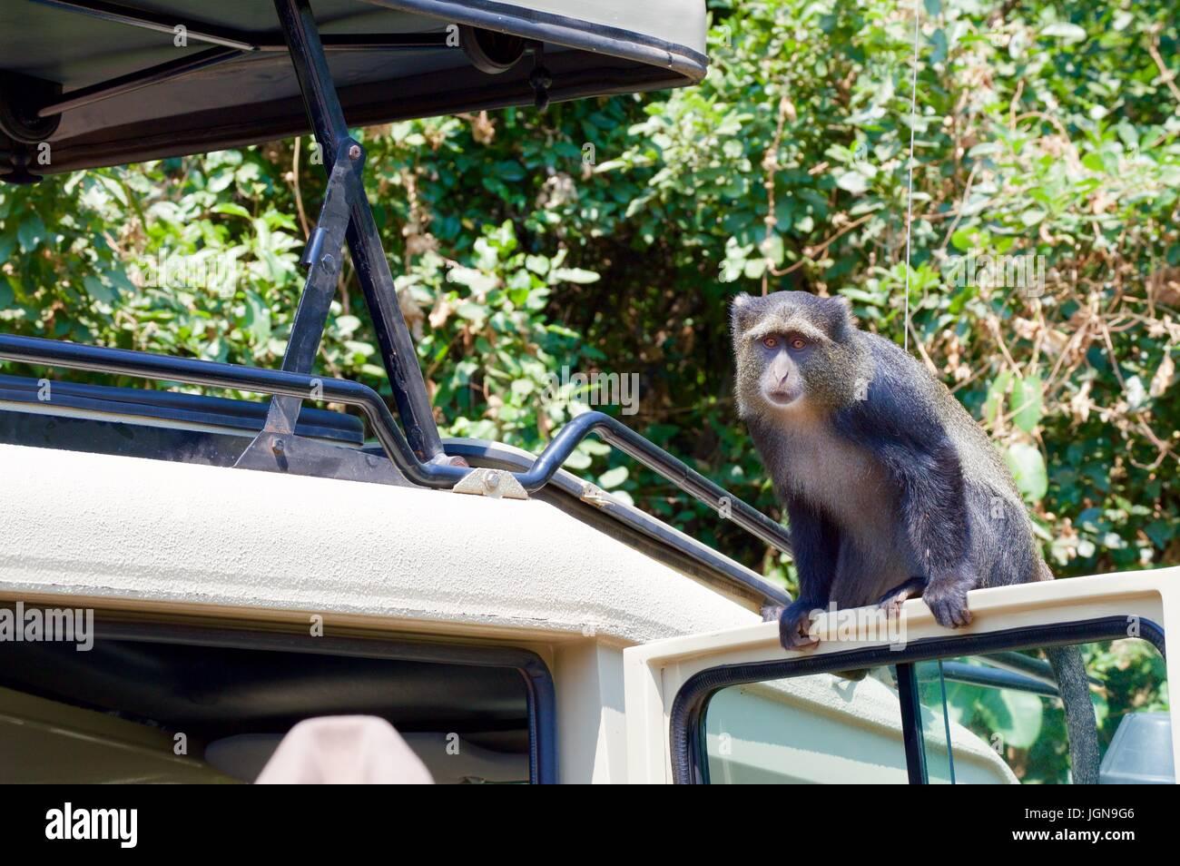 Blue Monkey on safari truck, Tanzania - Stock Image