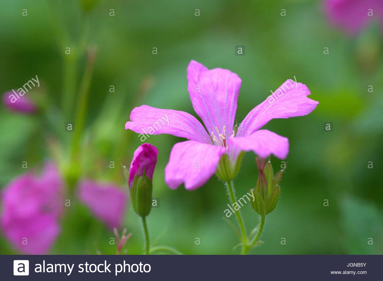 Die Blüte des Wiesen-Storchschnabels mit rosa Blütenkronblättern als Makro. - Stock Image