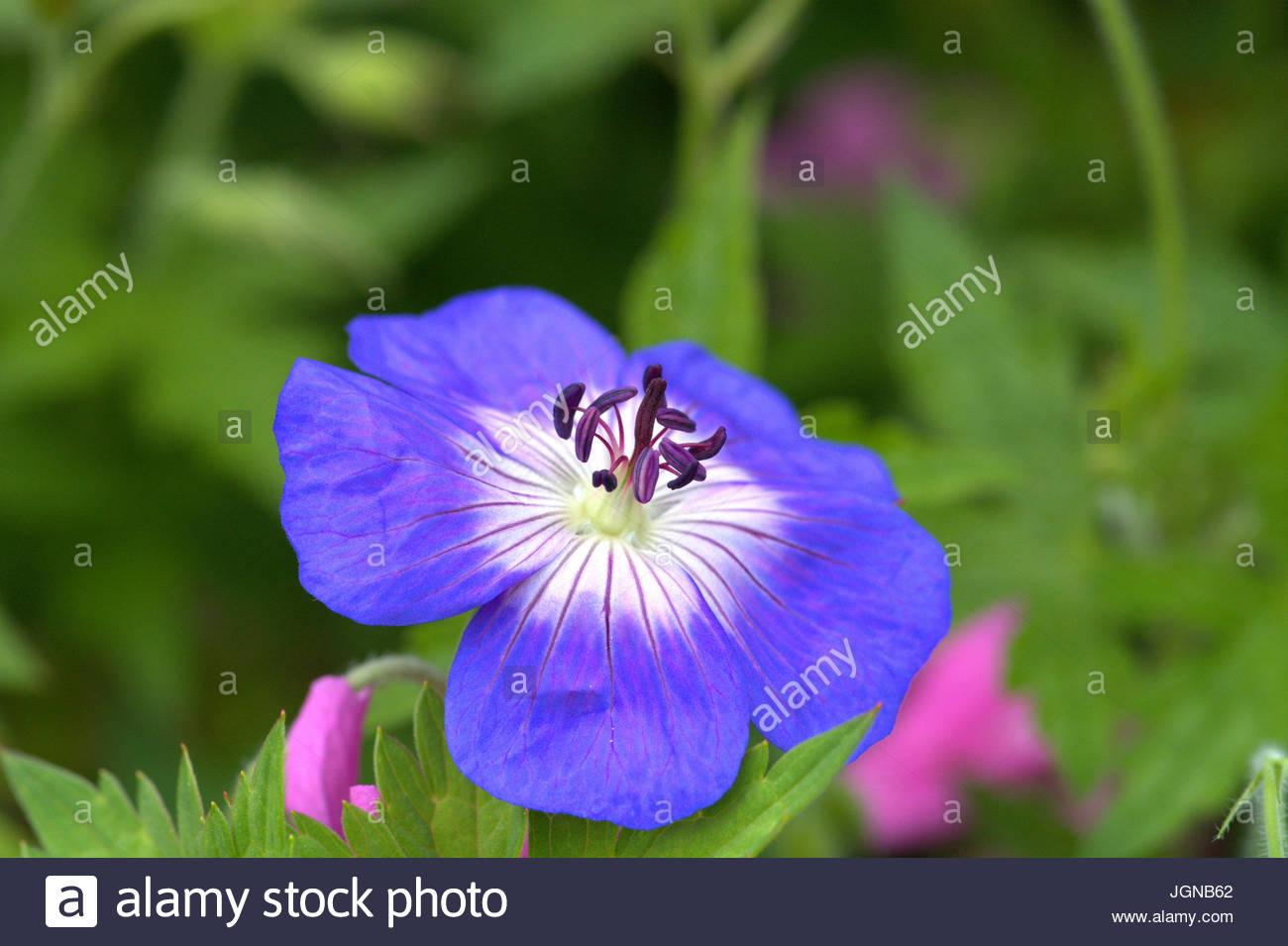 Die Blüte des Wiesen-Storchschnabels mit blauen Blütenkronblättern als Makro. - Stock Image