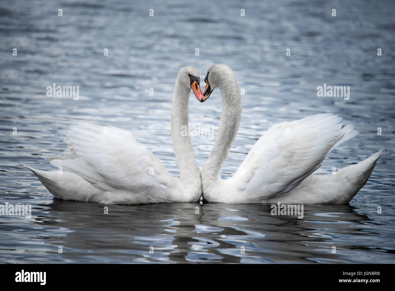 A Profile Portrait of Two Courting Mute Swans - Stock Image