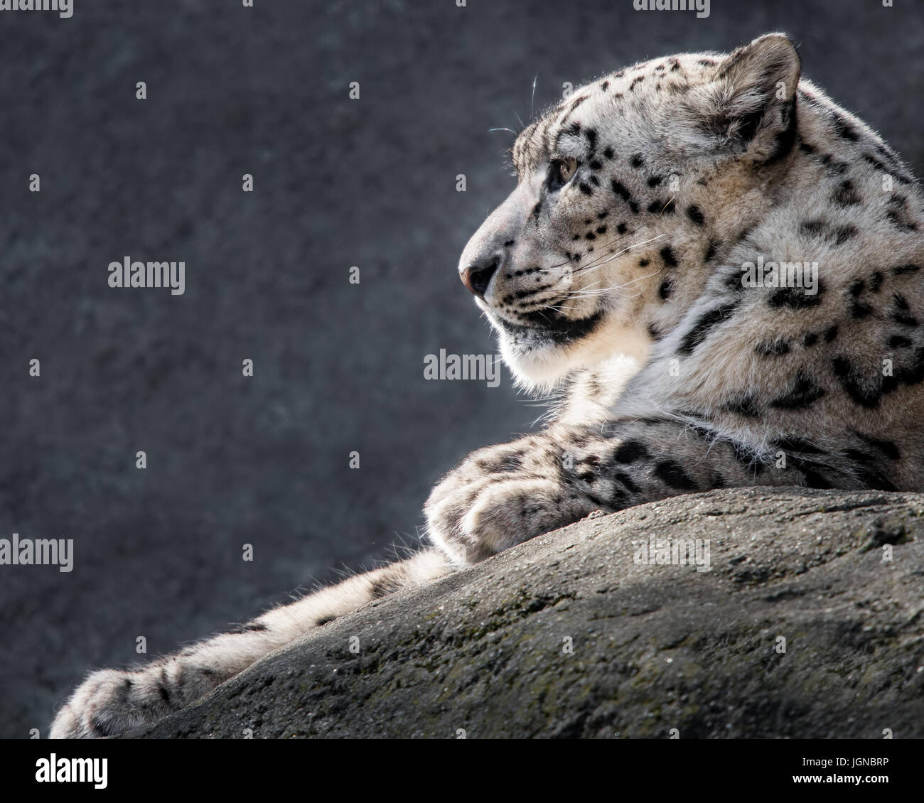 Profile Portrait of a Snow Leopard Against a Mottled Gray Background - Stock Image