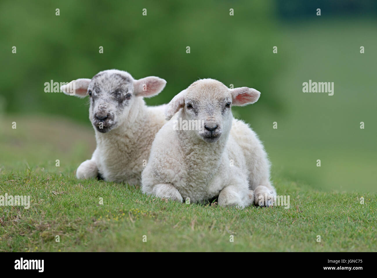 Pair of Lambs-Ovis aries on the Yorkshire Moors, Yorkshire, England, Uk. - Stock Image