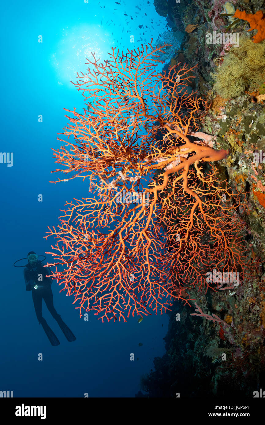 Diver at coral reef wall viewing red sea fans (Gorgonacea), sun, backlit, Palawan, Mimaropa, Sulu Lake, Pacific Stock Photo