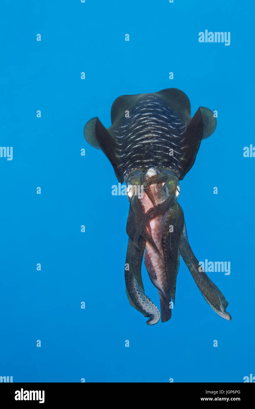 Bigfin reef squid (Sepioteuthis lessoniana) with captured Parrotfish(Scarinae) between the arms, feeding on prey, - Stock Image