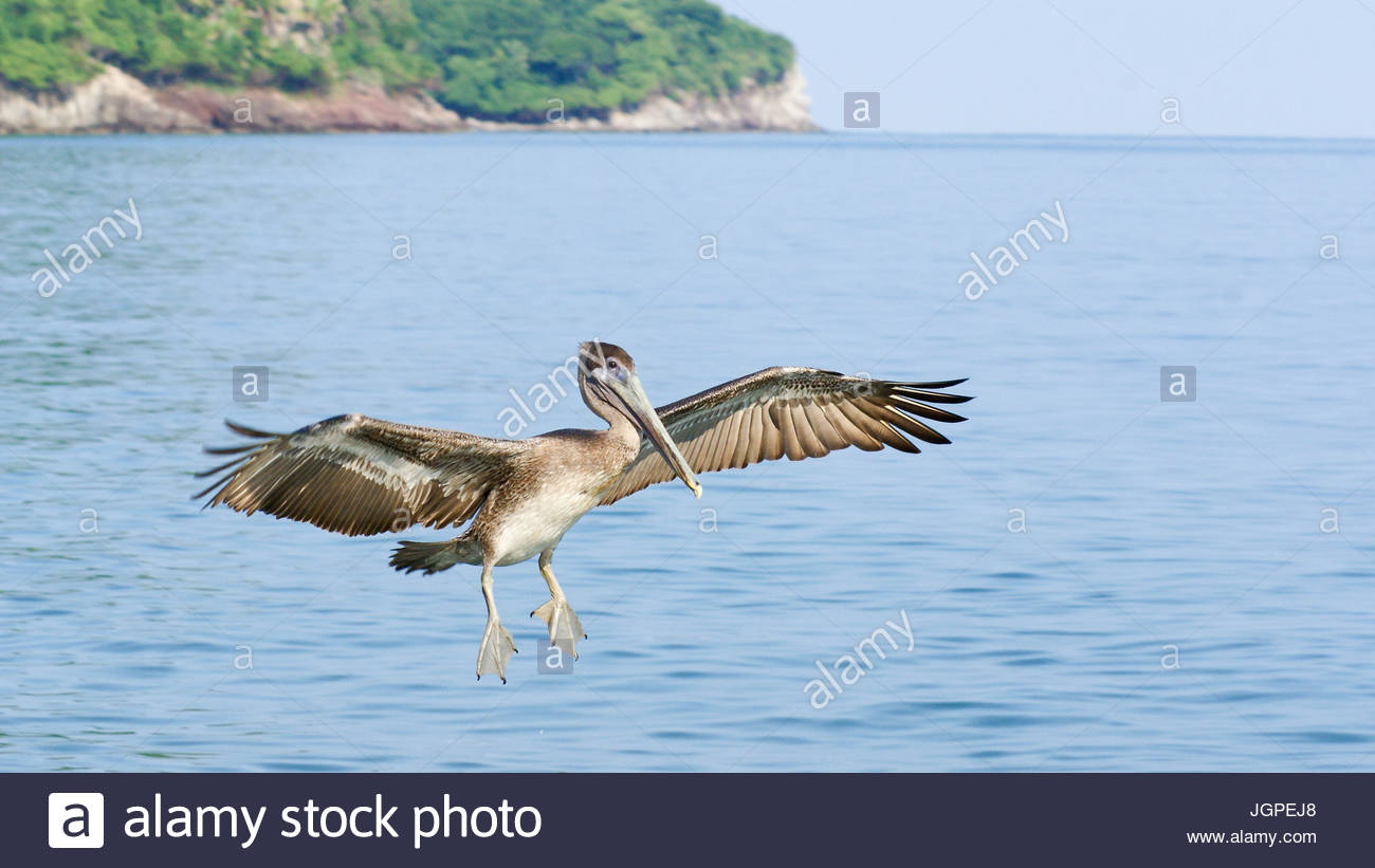 Brown Pelican in flight with its' wings and webbed feet extended as it prepares to land on the blue ocean waters - Stock Image