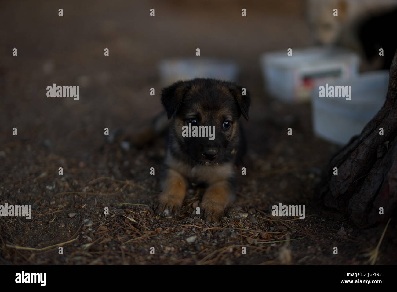 Little german shepard - Stock Image