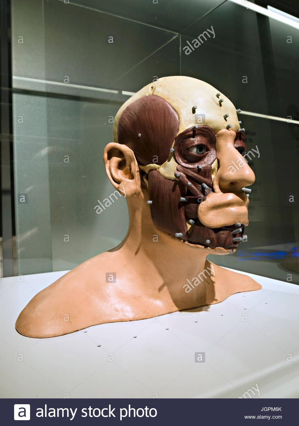 3D facial reconstruction of King Richard III face and head, King Richard III Visitor Centre Exhibition, Leicester, - Stock Image