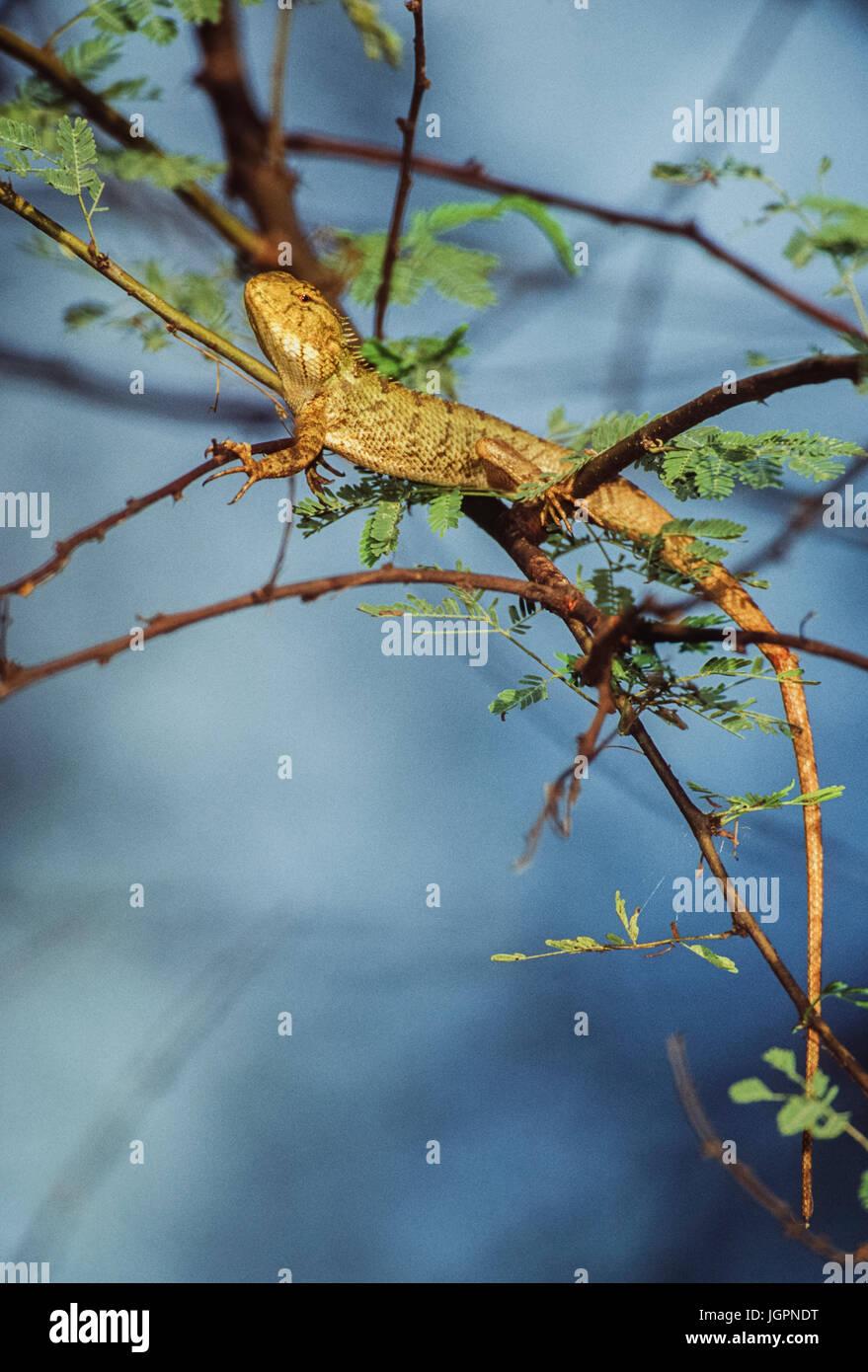 Indian Garden Lizard, Oriental Garden Lizard, Eastern Garden Lizard or Changeable Lizard , (Calotes versicolor), Stock Photo