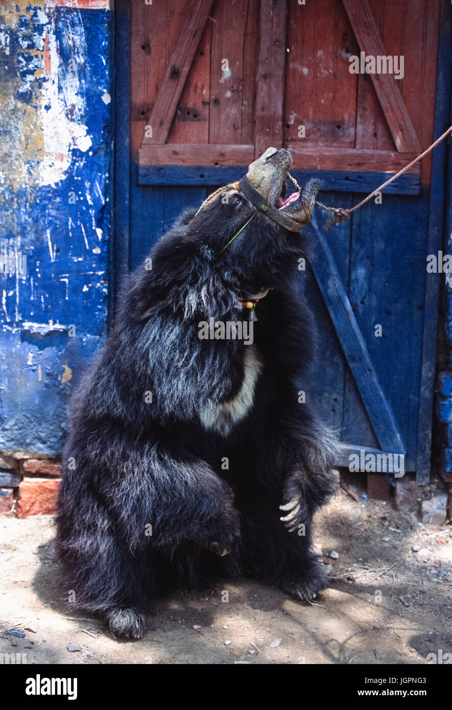 "Sloth Bear, (Melursus ursinus), captive as performing ""dancing bear"", Rajasthan, India Stock Photo"