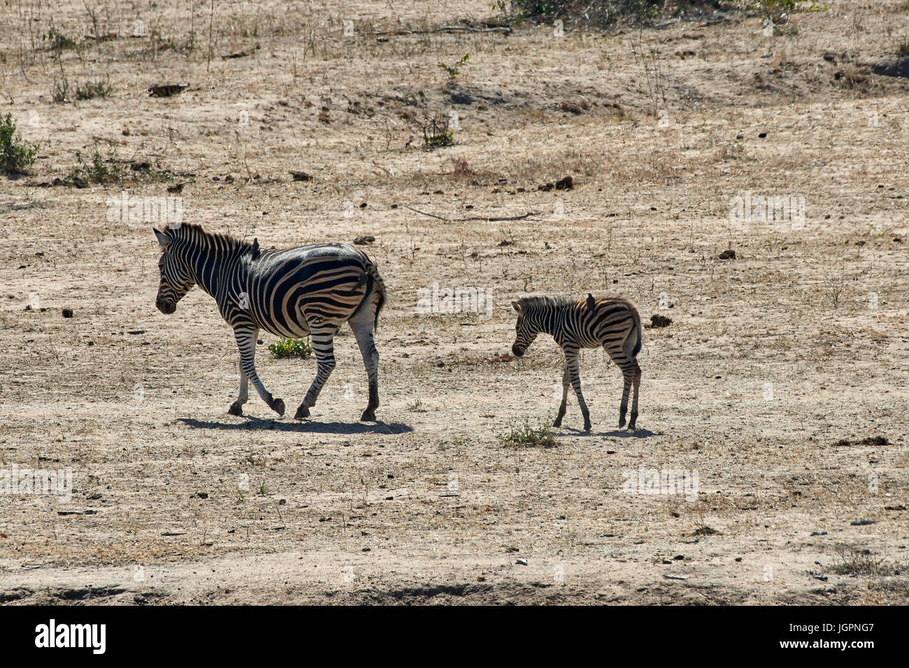Zebra, Equus quagga, adult and foal walking across the dry plain at Arathusa Lodge, Sabi Sands game reserve, South - Stock Image