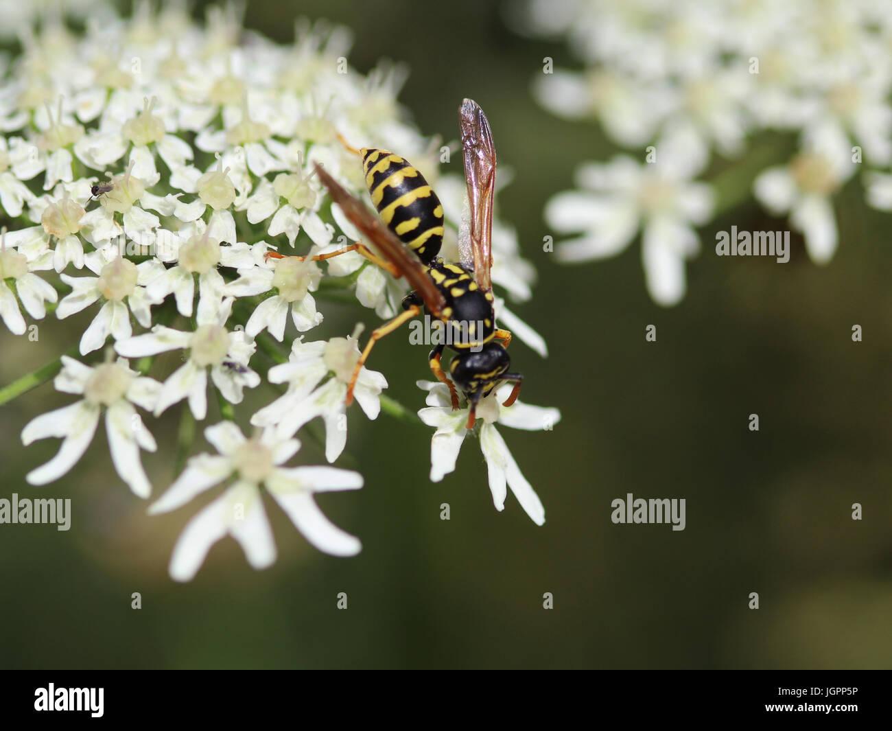 Common wasp (Vespula vulgaris) - Stock Image