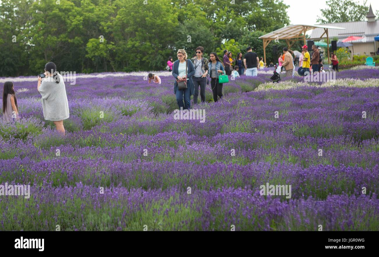 Ontario, Canada. 9th July, 2017. People visit a lavender farm during the 2017 Lavender Festival in Prince Edward - Stock Image