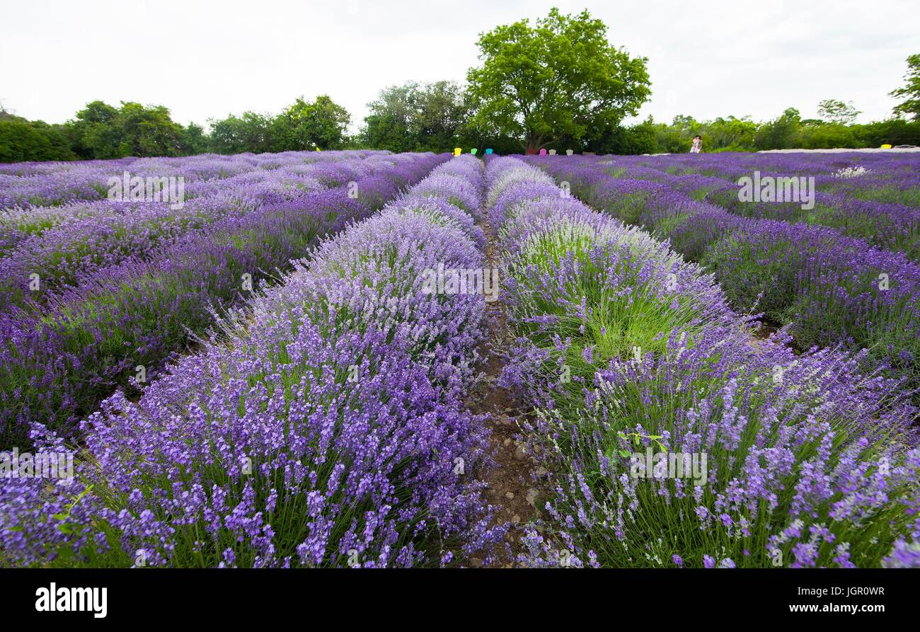 Ontario, Canada. 9th July, 2017. Lavender plants are seen at a lavender farm during the 2017 Lavender Festival in - Stock Image