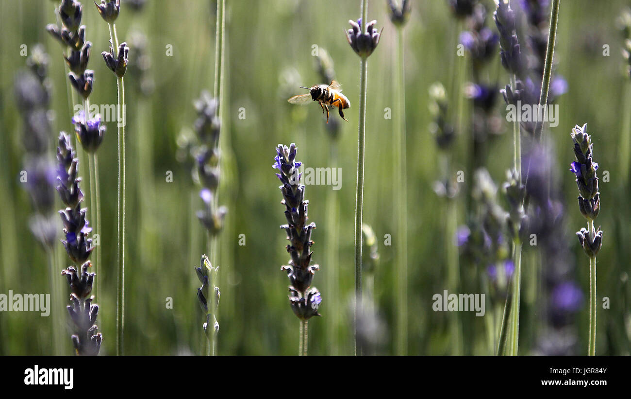 Royal Oaks, CA, USA. 3rd May, 2017. Keys Creek Lavender Farm opened for the season Wednesday in Valley Center, CA. - Stock Image