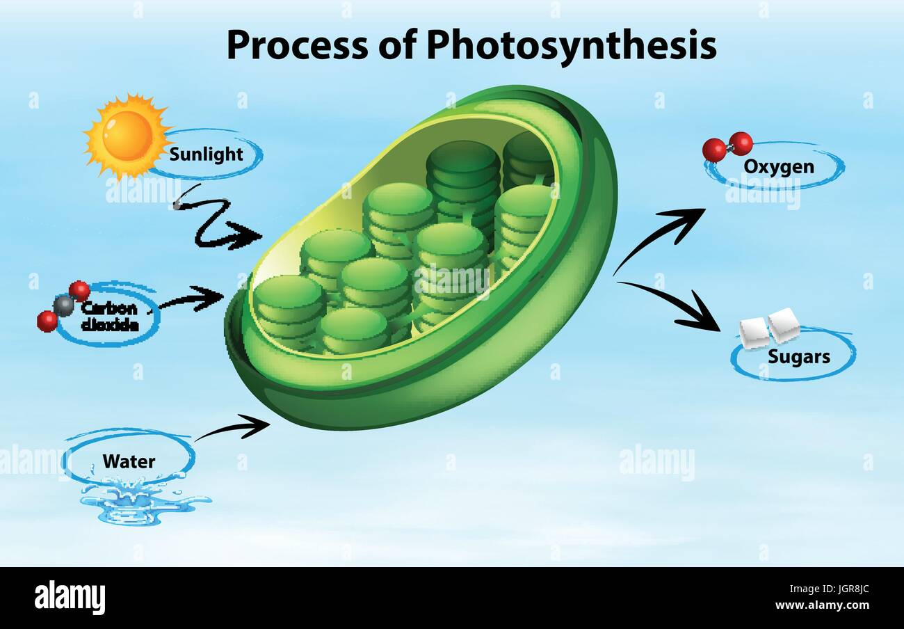 Diagram showing process of photosynthesis illustration stock vector diagram showing process of photosynthesis illustration ccuart Choice Image