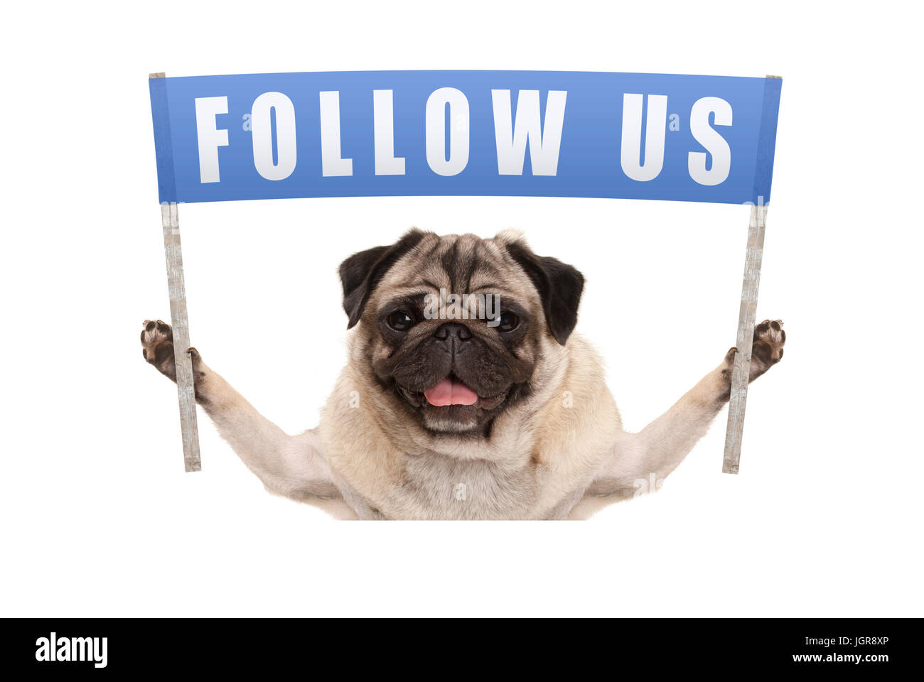 pug puppy dog holding up blue banner with text follow us for social media, isolated on white background Stock Photo