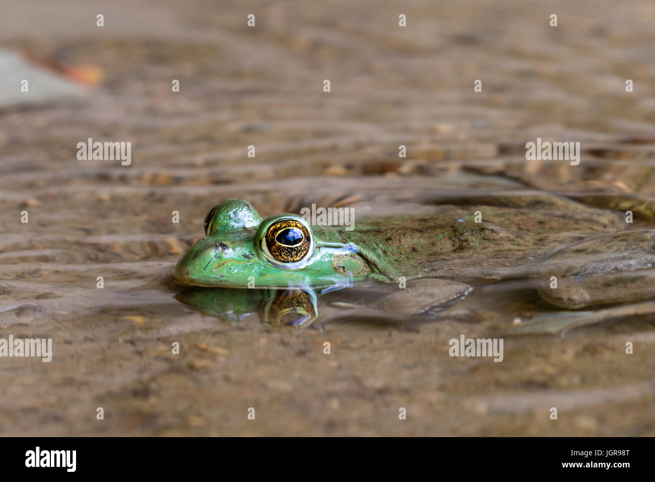 American bullfrog (Lithobates catesbeianus or Rana catesbeiana) in water stream, Ledges State Park, Iowa, USA. - Stock Image