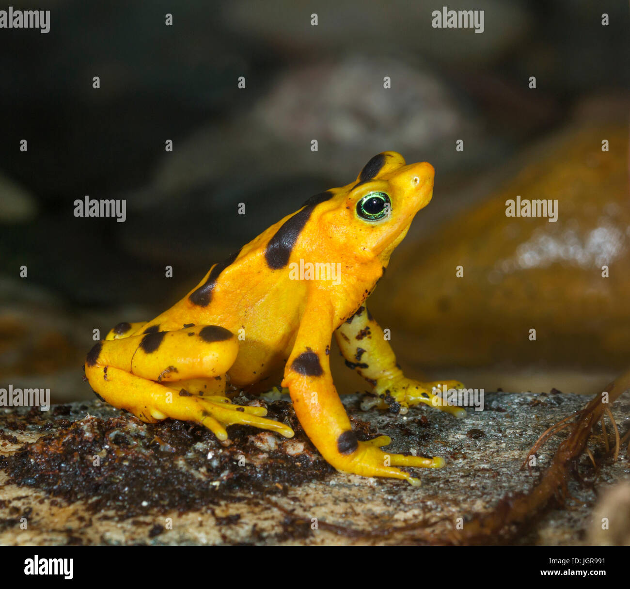 The critically endangered Panamanian Zetek's golden frog (Atelopus zeteki), captive (native to cloud forests - Stock Image