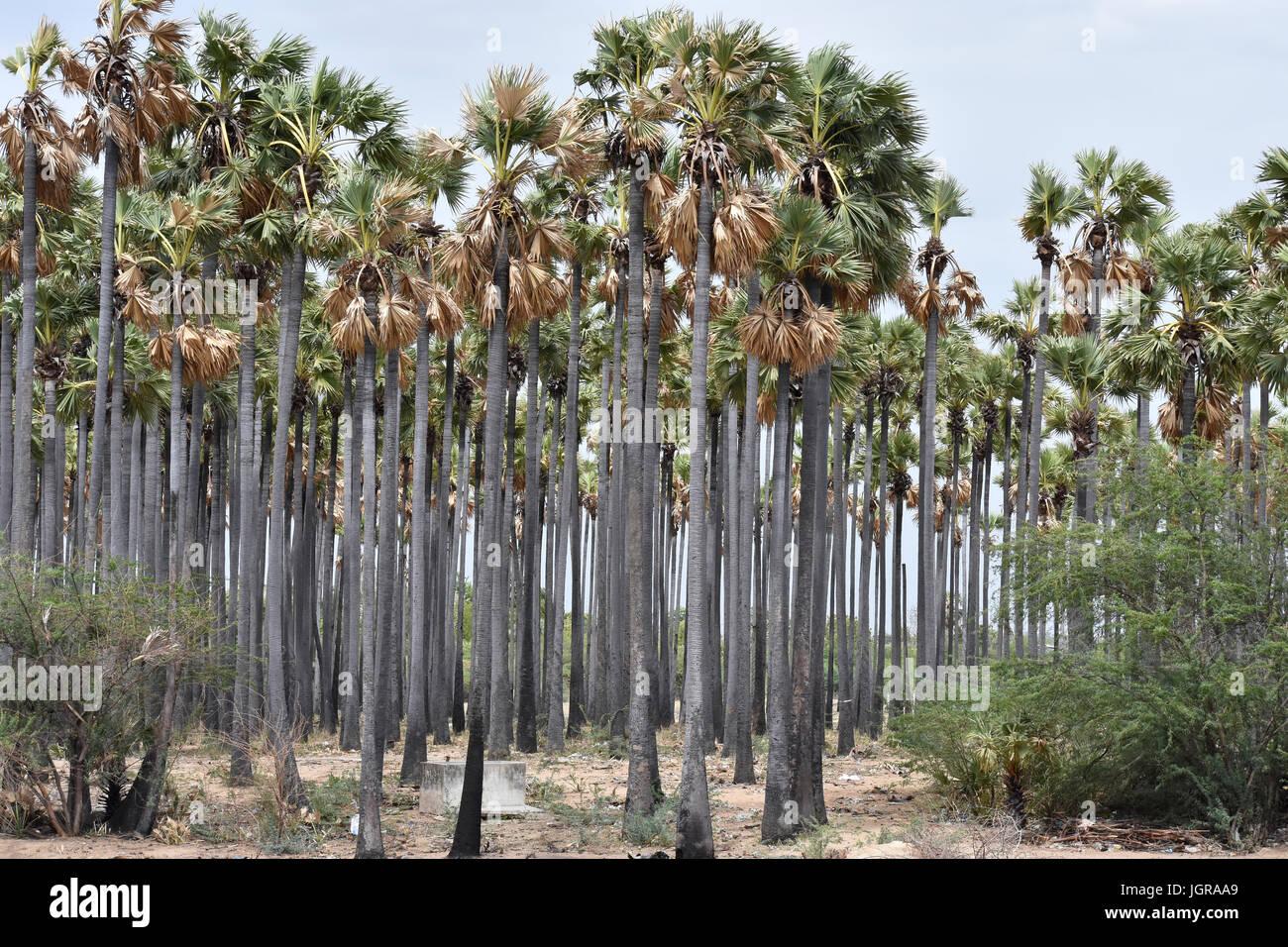 Palmyra palm - Stock Image