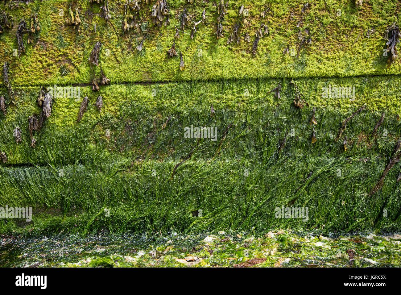 sea defences covered in green seaweed and algae,background, beach, breakwater, bright, close, coast, coastal, coastline, - Stock Image