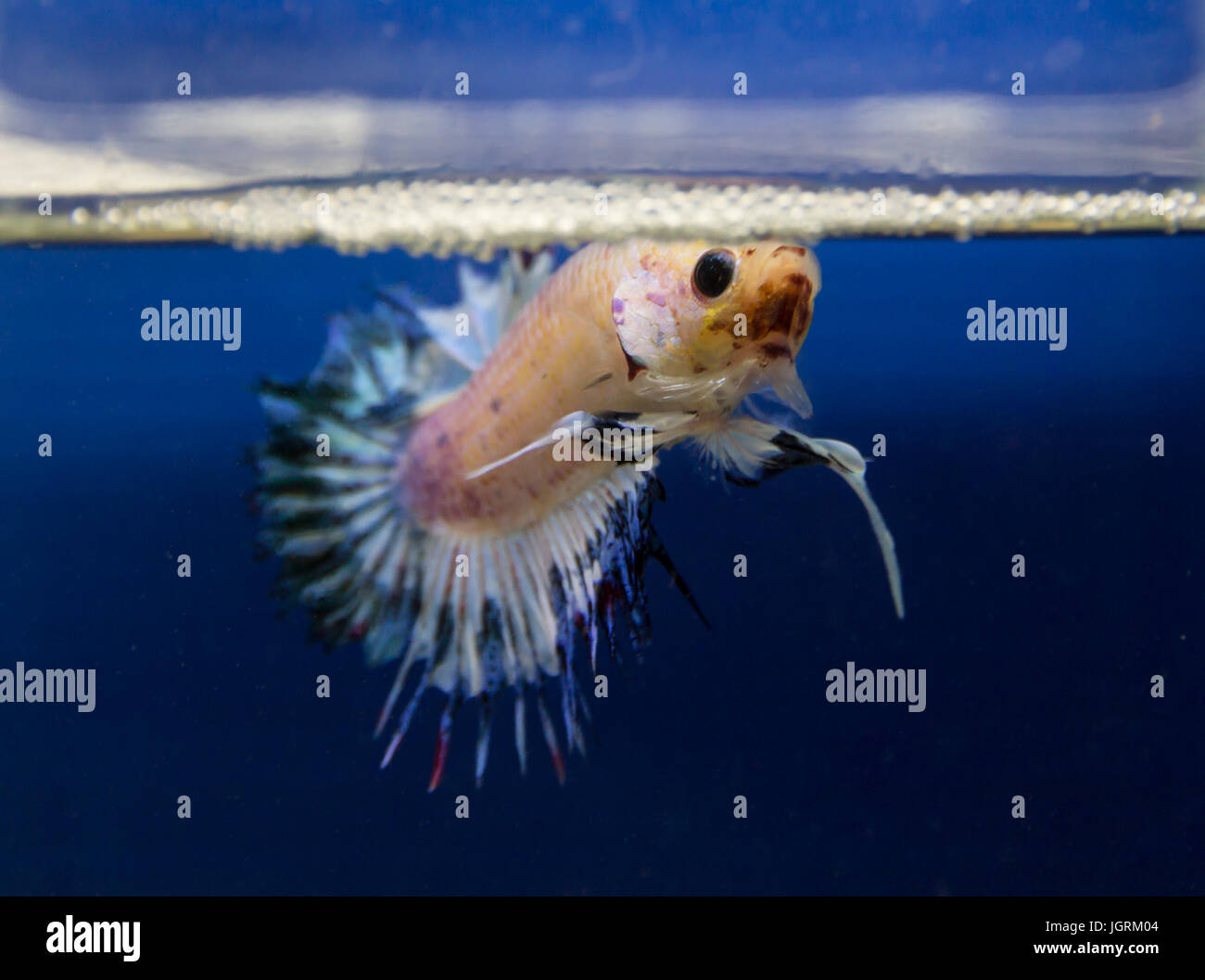 Crowntail siamese fighting fish in a blue background Stock Photo