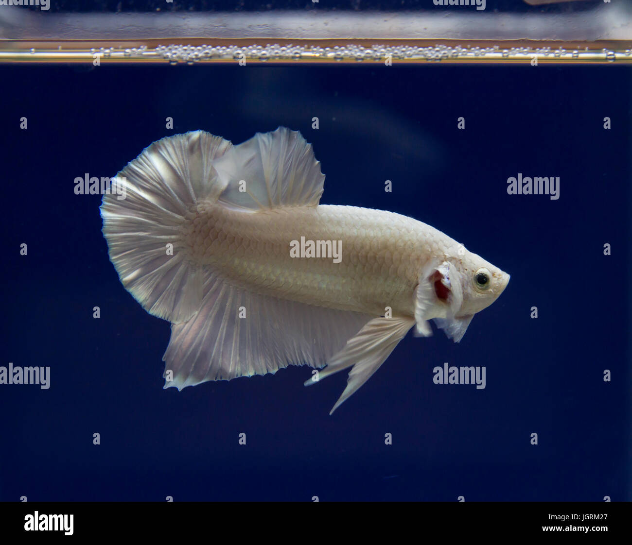 White siamese fighting fish in a blue background - Stock Image