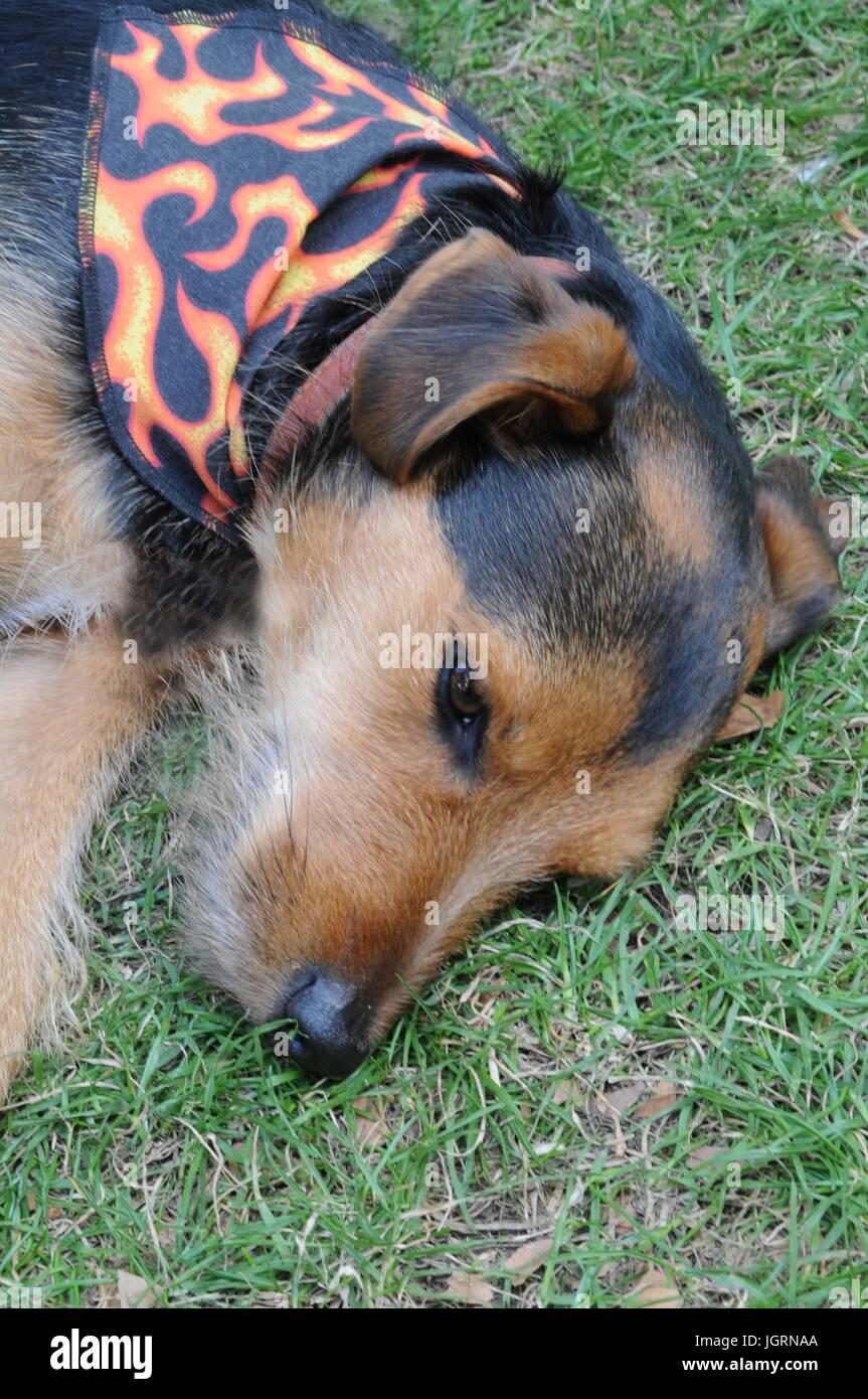 Dog having a sleep, at London's Soho village fete. - Stock Image
