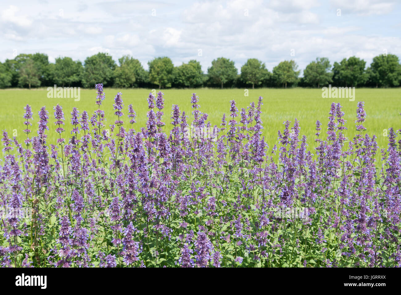 Nepeta transcaucasica blue infinity catmit at Breezy Knees Gardens, York, England, UK - Stock Image