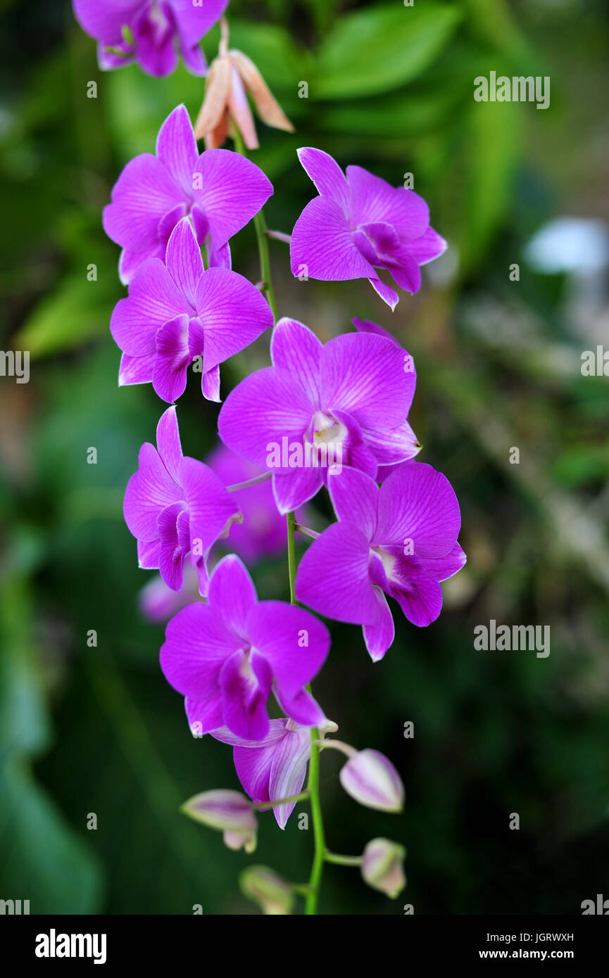Orchid Flowers Beautiful Orchid Natural Flowers Stock Photo