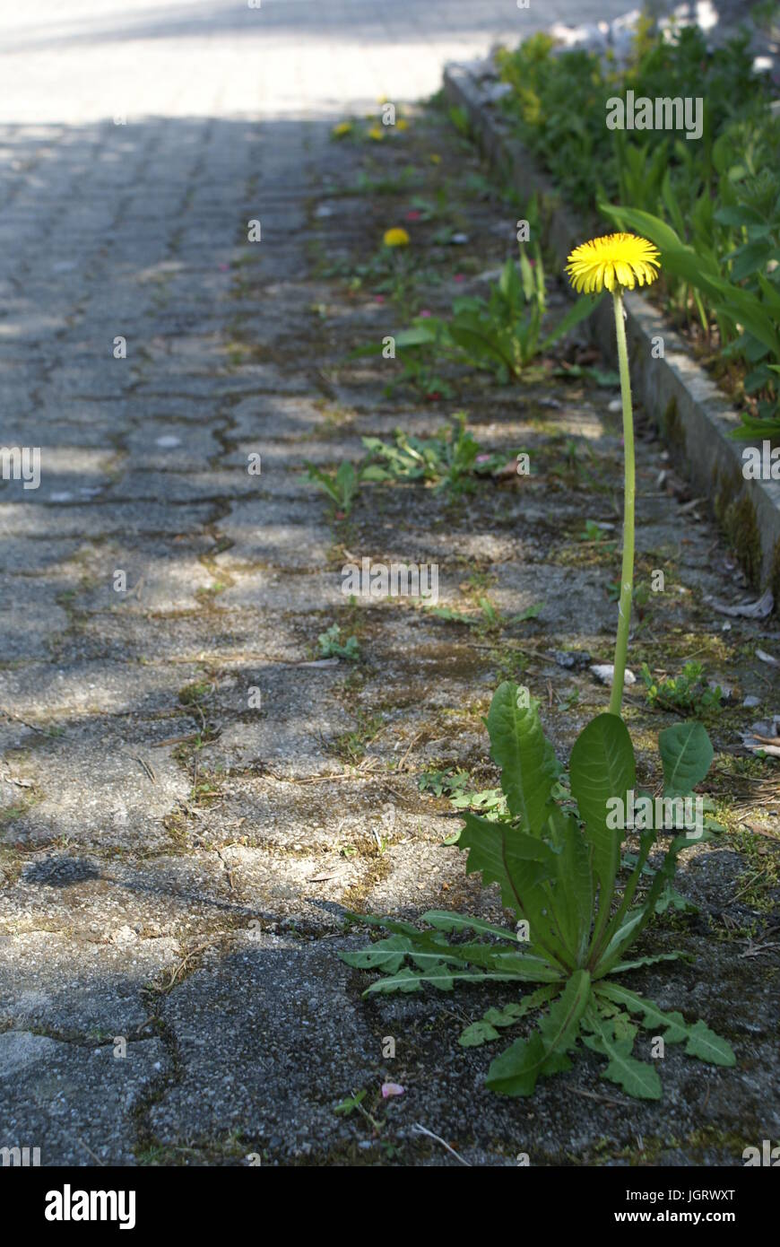 Dandelion growing between tiles in the street Stock Photo
