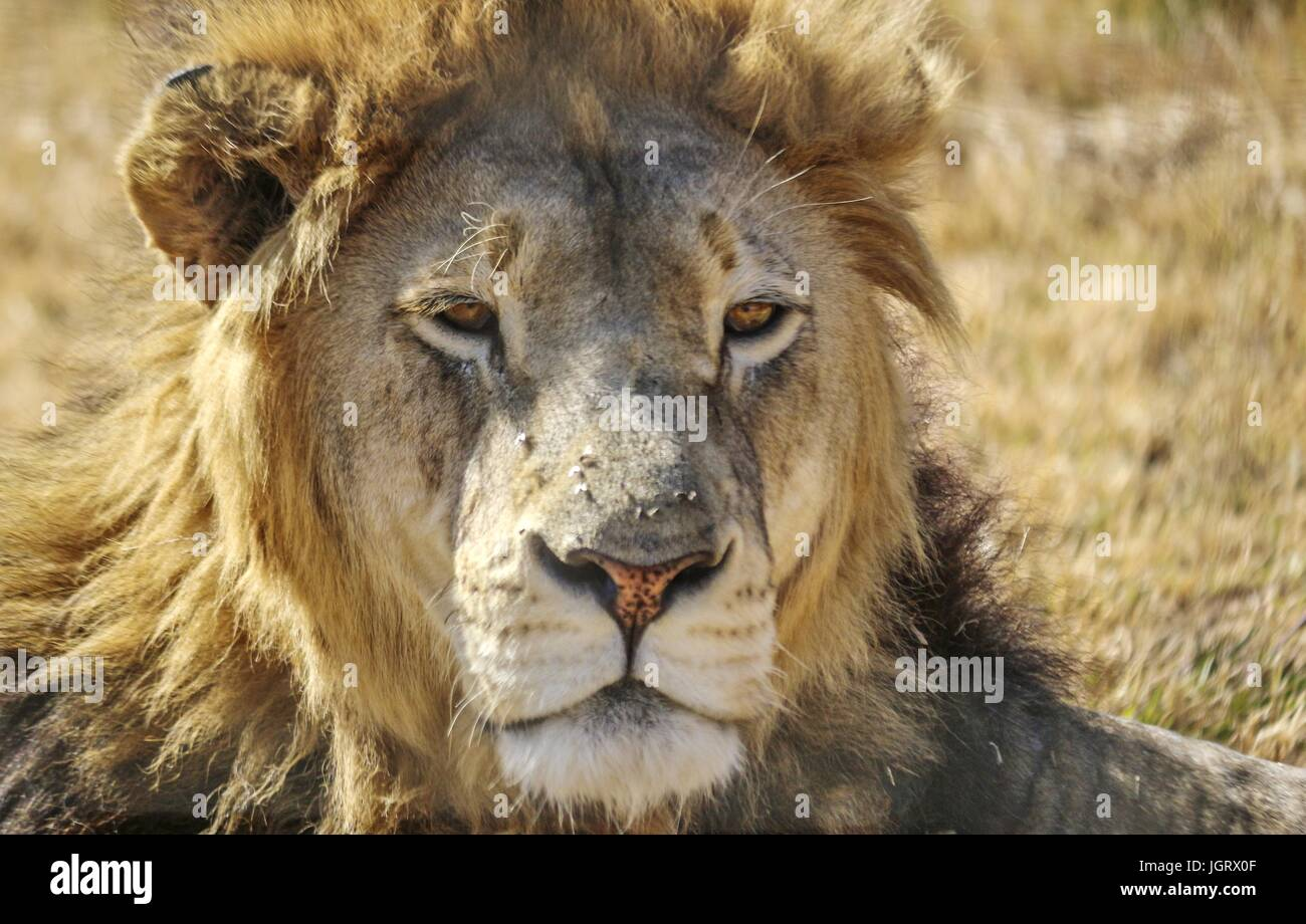 Close up of an isolated male lions head laying down outside with sunlight - Stock Image