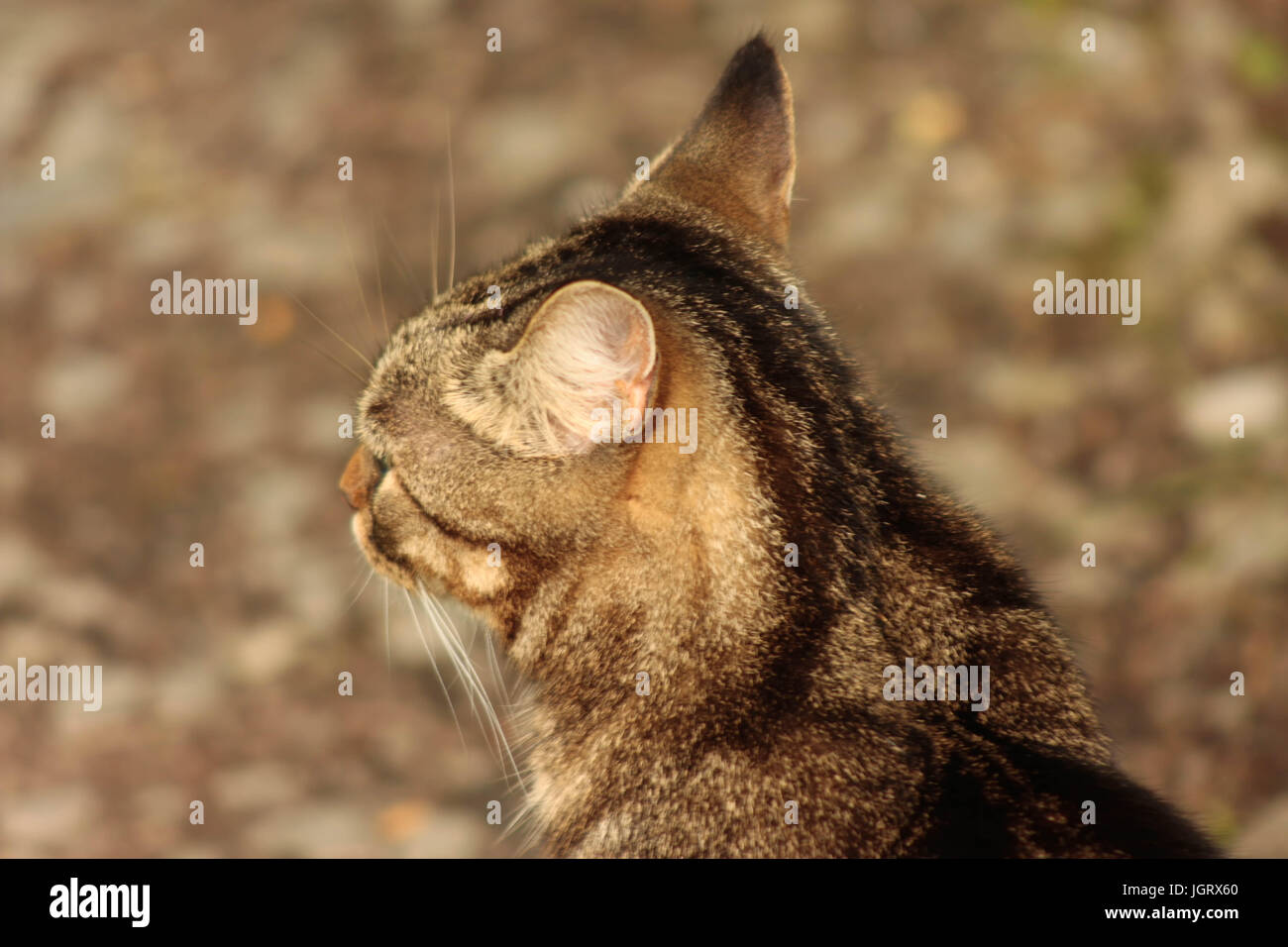 Close up back view of an isolated female tabby cats head outside - Stock Image