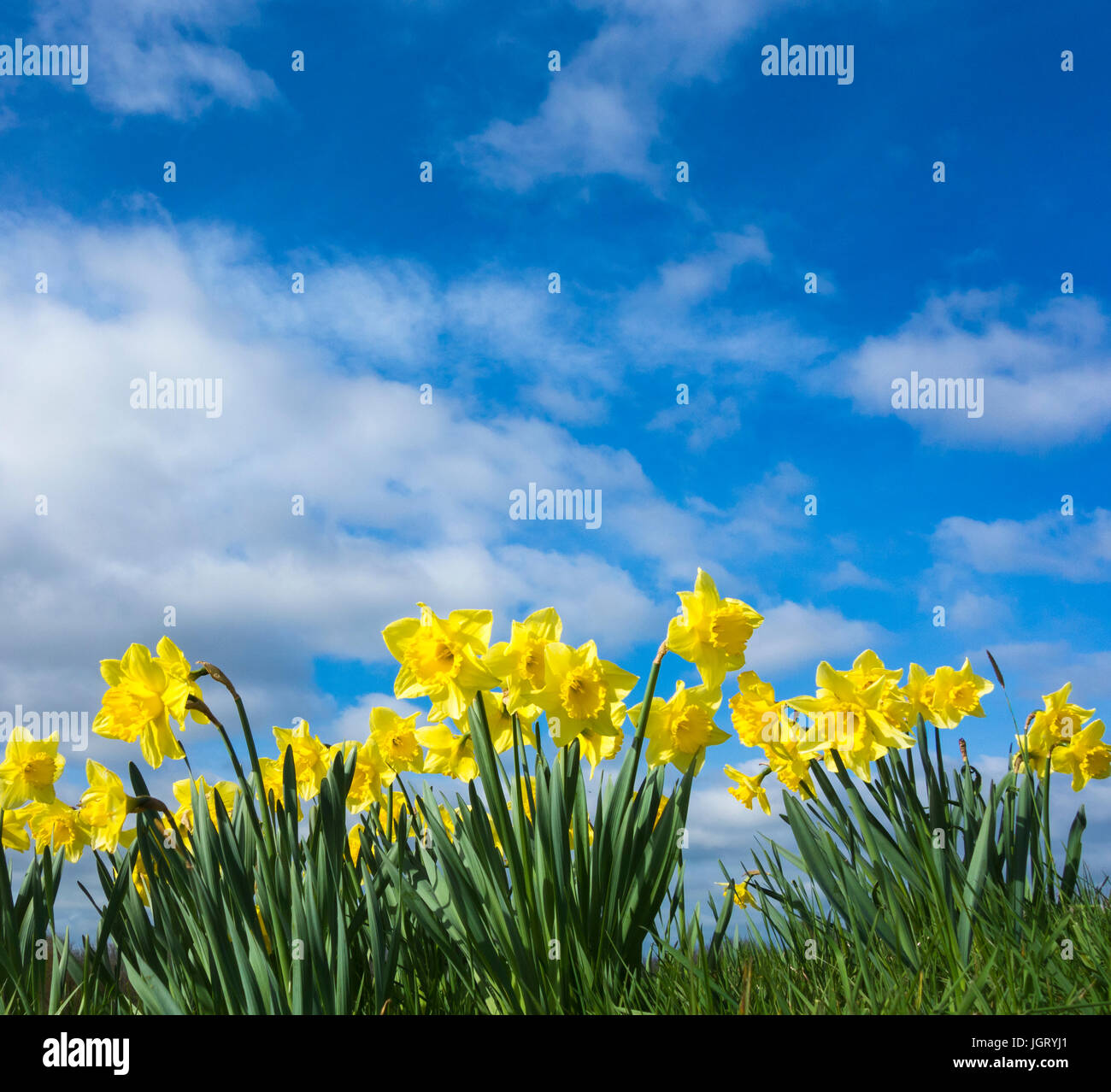 Daffodils against blue sky. BHZ - Stock Image