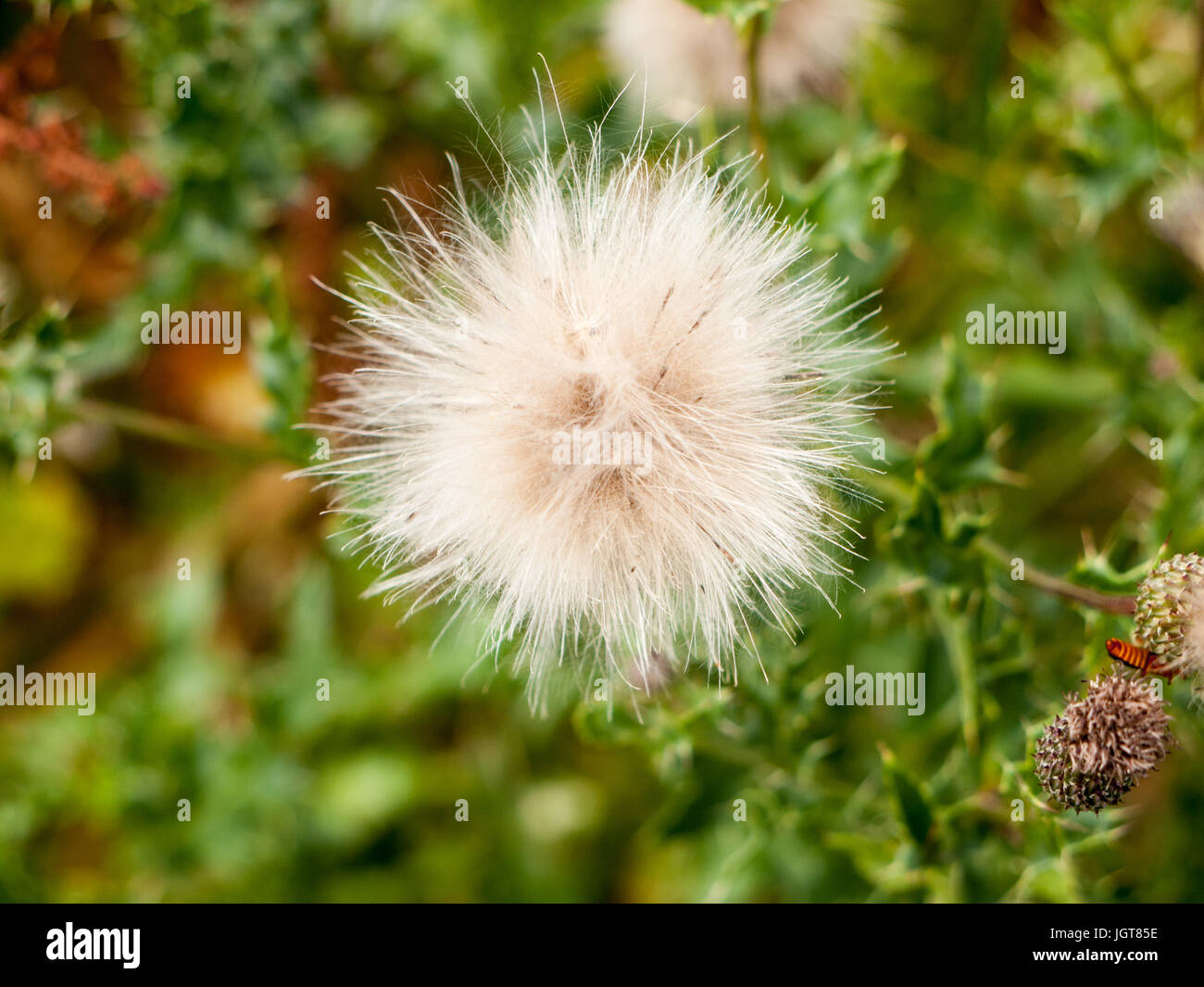 Fluff Thistle Stock Photos Fluff Thistle Stock Images Alamy