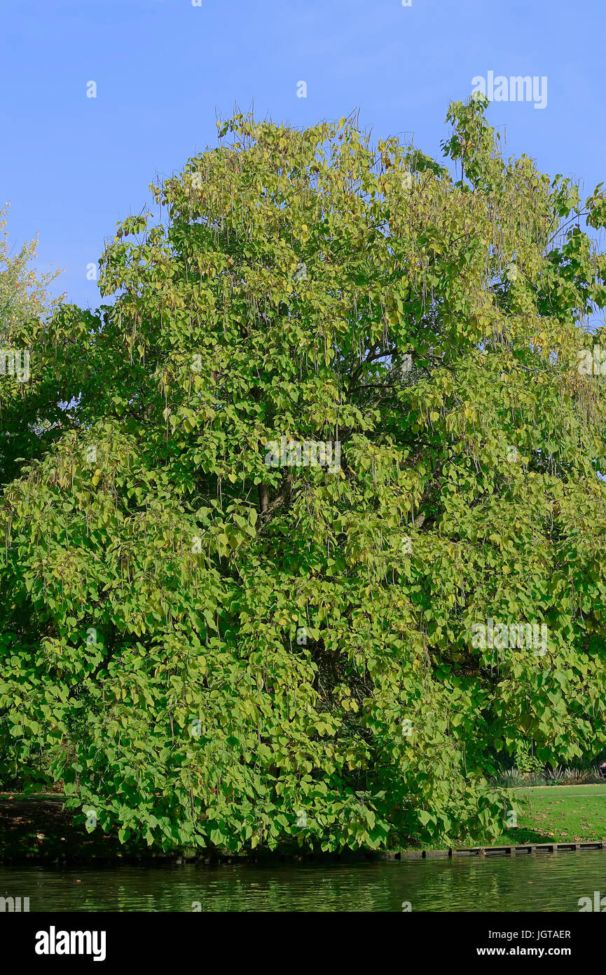 Indian Bean Tree / (Catalpa bignonioides, Catalpa syringifolia) / Southern Catalpa, Cigartree - Stock Image