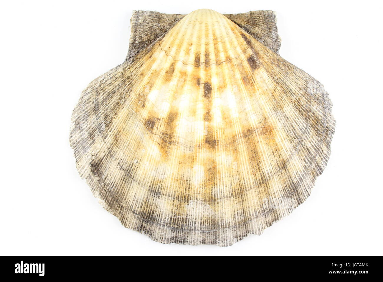 composition of a scallop shell isolated on a white background - Stock Image