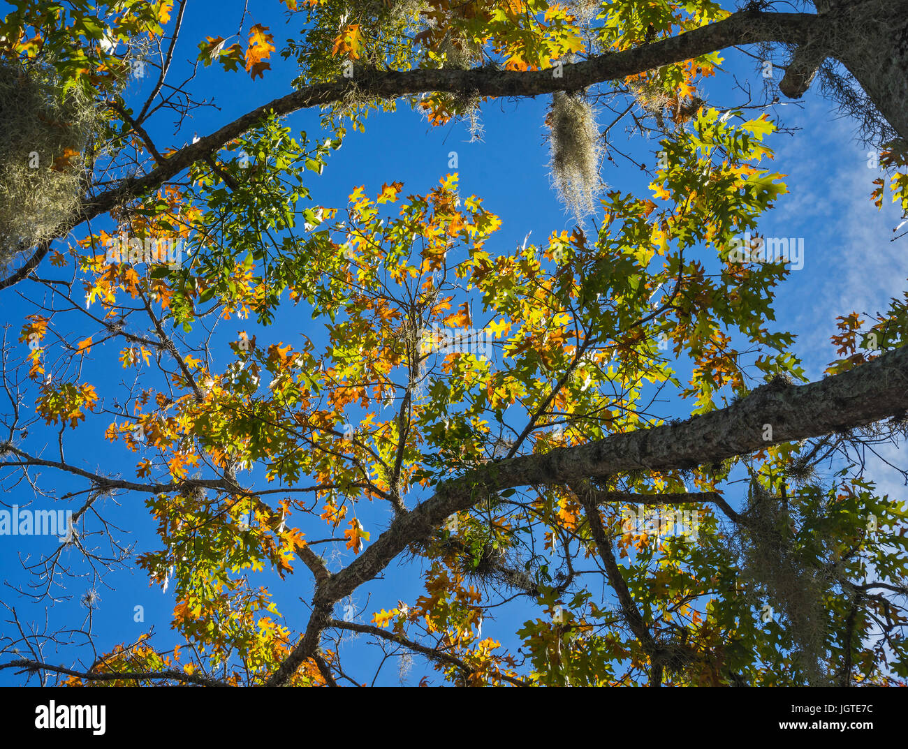 Colored autumn leaves on a tree in North Florida. - Stock Image