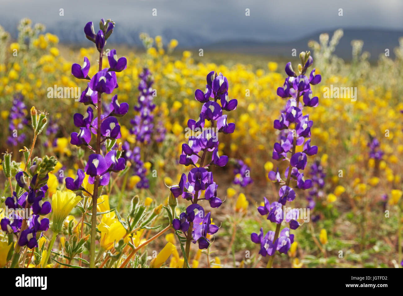 lupine wild flowers with other yellow flowers in the background during the California spring superbloom - Stock Image