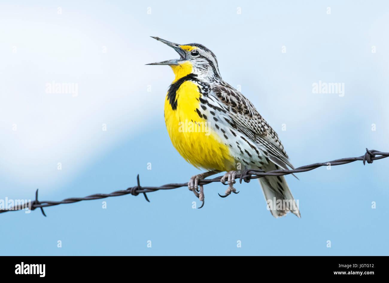 Meadowlark, Spring song, breeding territory, Montana Stock Photo