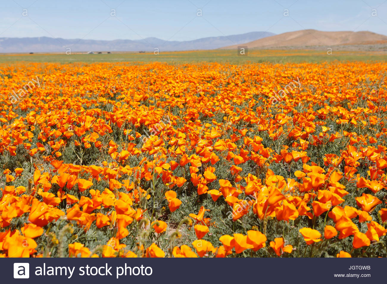 A field of poppies in Antelope Valley California Poppy Reserve. - Stock Image