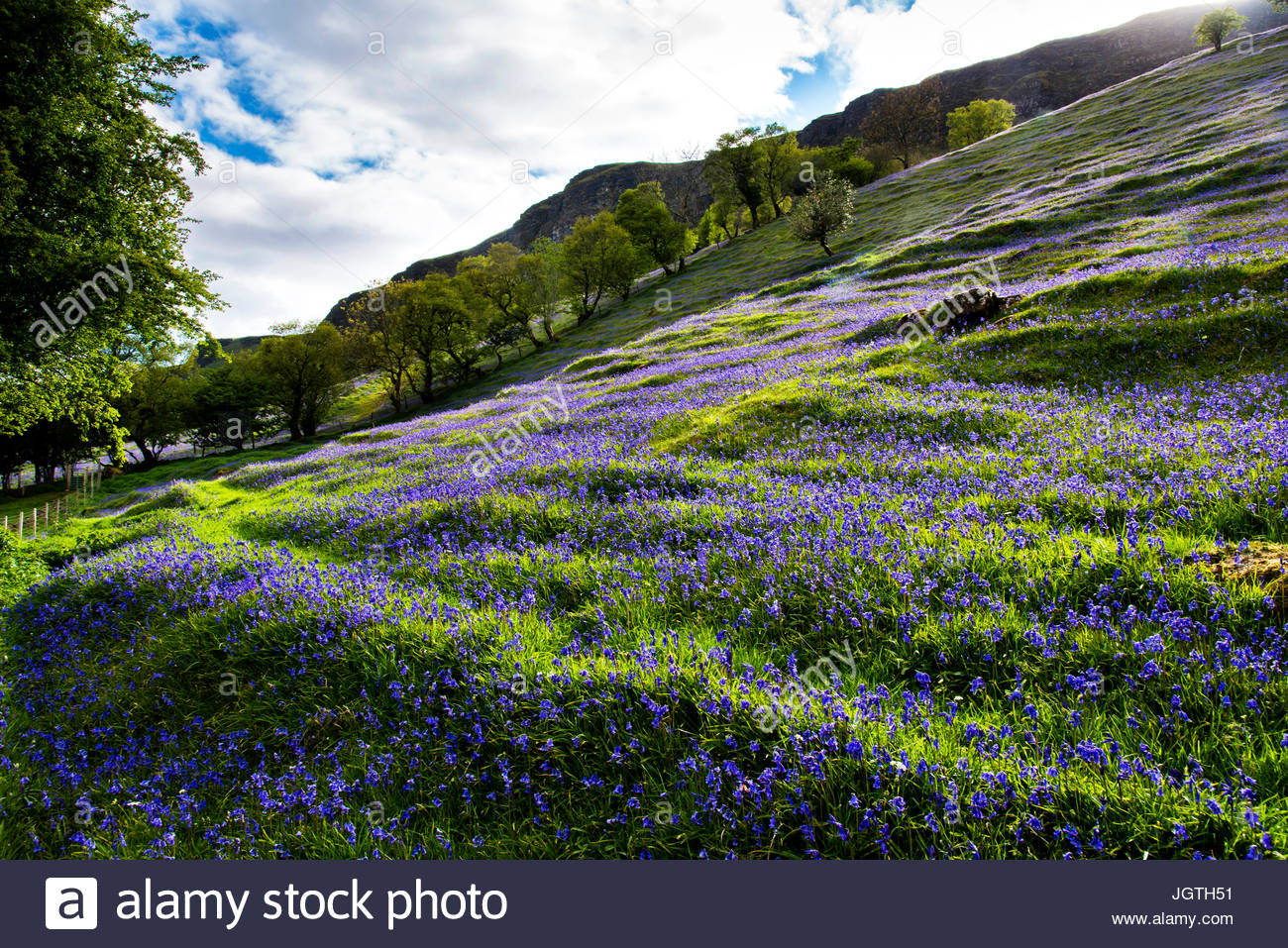 Bluebells bloom in the Glens of Antrim. - Stock Image