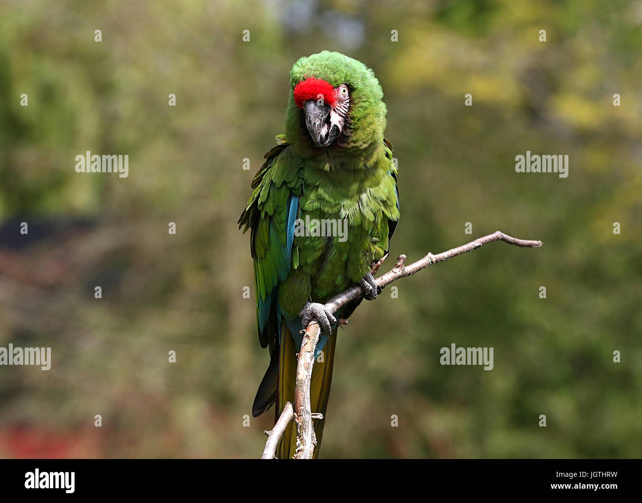 South American Military macaw (Ara militaris) posing on a branch - Stock Image