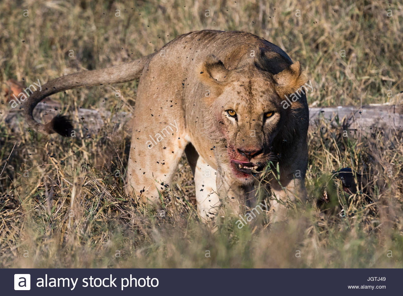 A lion, Panthera leo, with bloody face after eating a kill. - Stock Image