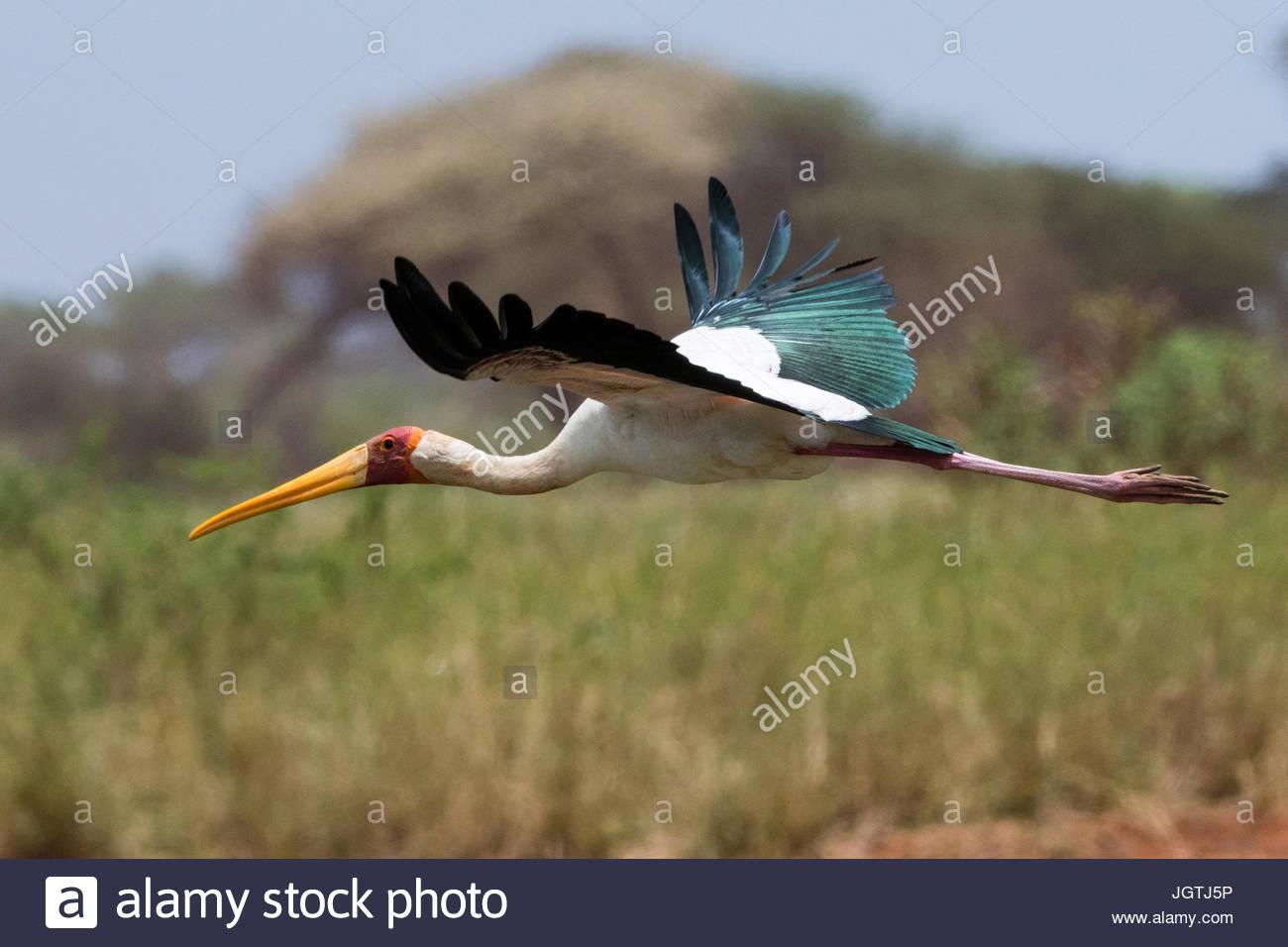 A yellow-billed stork, Mycteria ibis, in flight. - Stock Image
