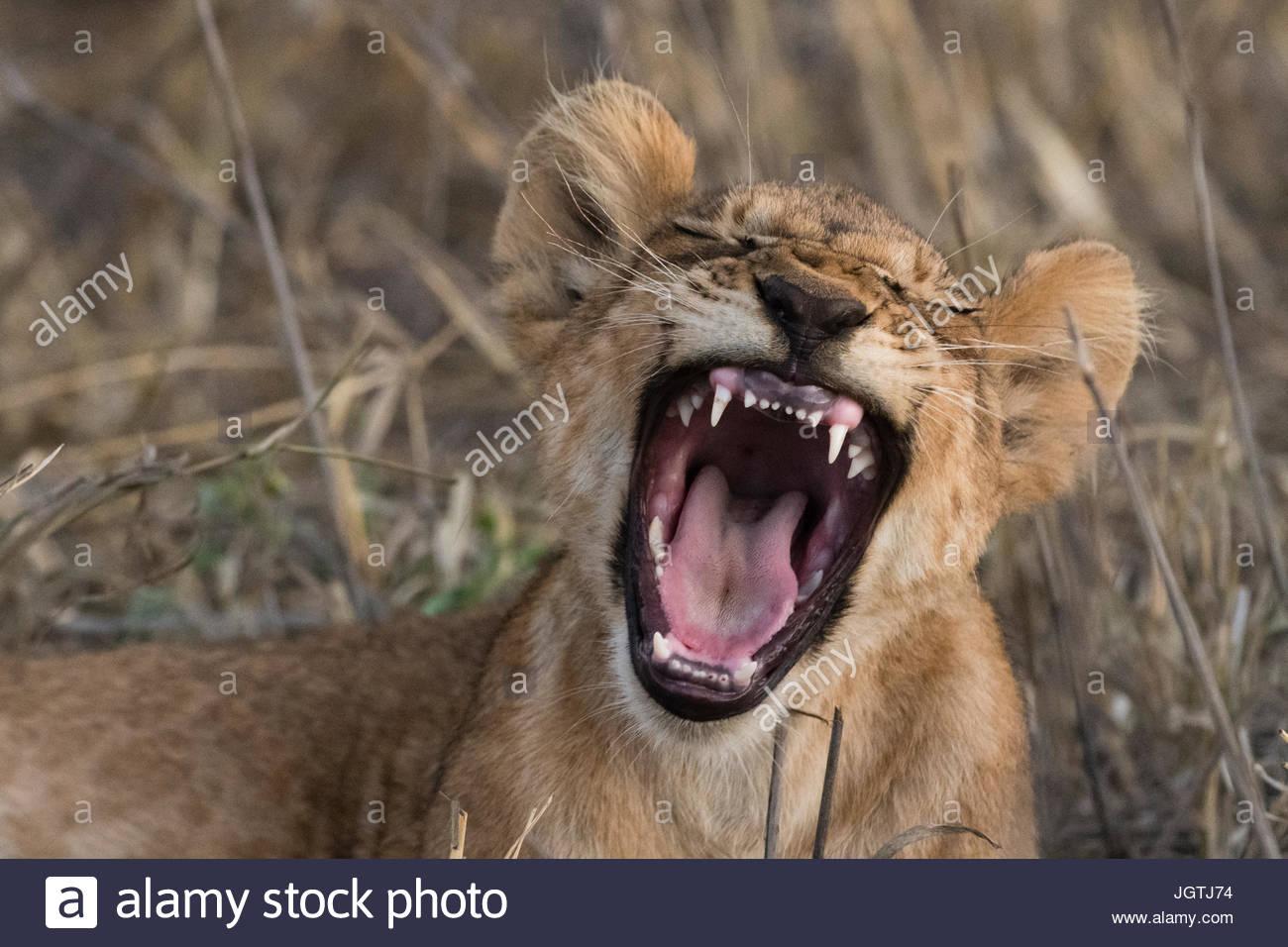 A lion cub, Panthera leo, yawning. - Stock Image