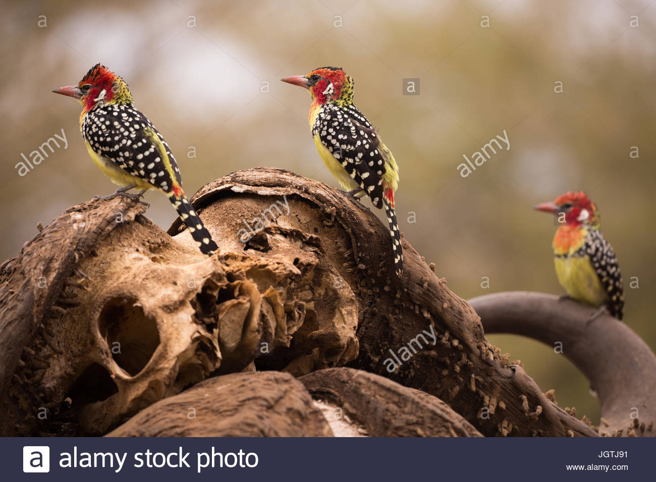 Red and yellow barbets perch on a water buffalo skull. - Stock Image