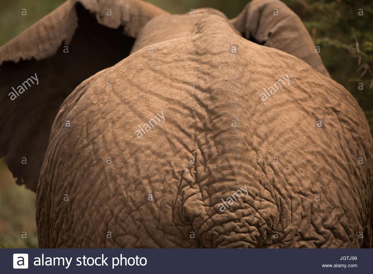 An African elephant in Lake Manyara National Park. - Stock Image